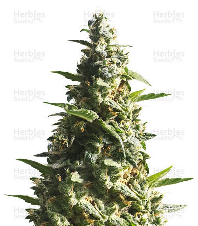 Buy Bubble Bud feminized seeds