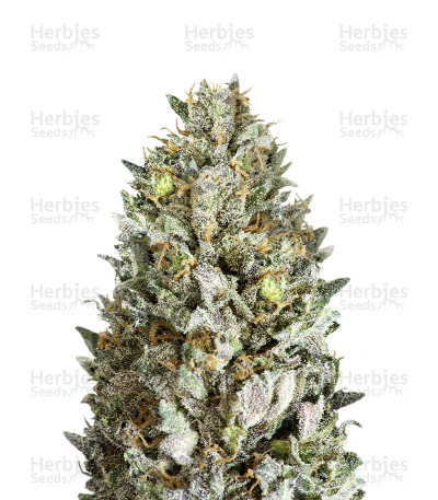 Diesel Drift (Heavyweight Seeds)