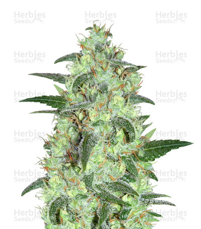Buy Keramatic Auto feminized seeds