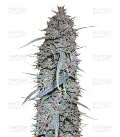 Buy Purple Haze x Malawi Regular seeds