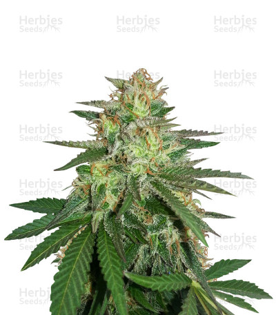 Buy Destroy OG Regular seeds