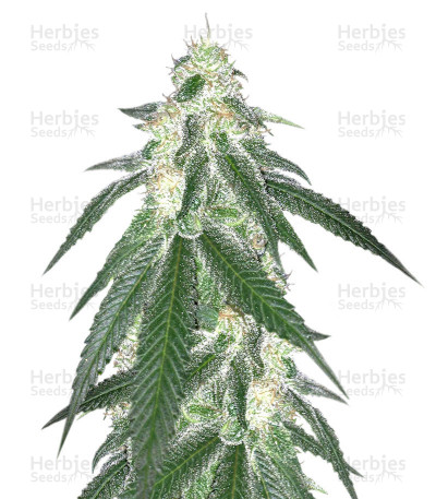 Grandaddy Black (Original Sensible Seeds)
