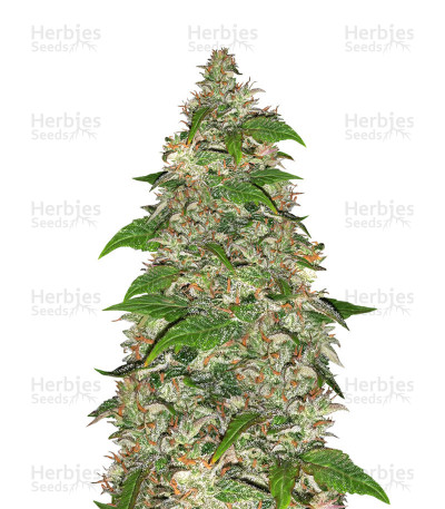 Buy CBD Auto Charlotte's Angel feminized seeds