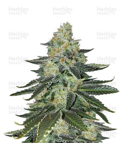 Buy Purple Kush (Kannabia Seeds)