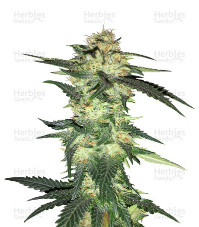 Buy Blue Gelato 41 feminized seeds