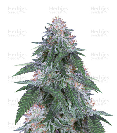 Buy Velvet Octane by Humboldt Seeds