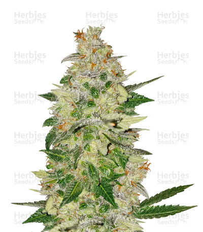 Buy Amnesia Bilbo Auto feminized seeds