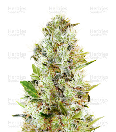 Buy Auto Somango feminized seeds