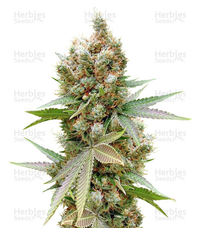 Buy Somalicious feminized seeds