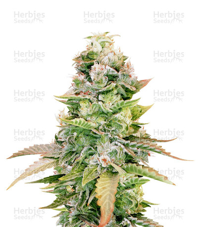 Buy The OG #18 feminized seeds