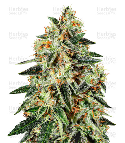 Buy GH Cheese x Lemon Wookie Glue feminized seeds