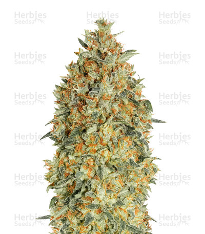 Buy Auto Gorilla Blue by Advanced Seeds