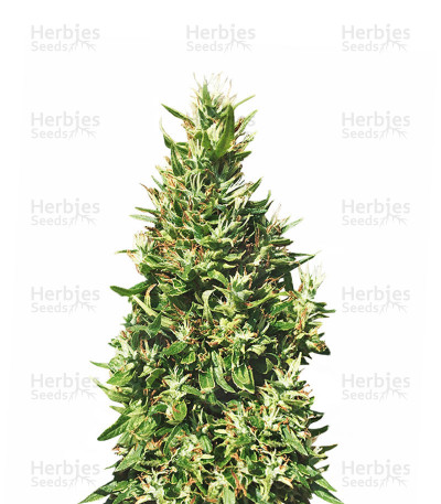 Buy Bangi Haze Regular seeds