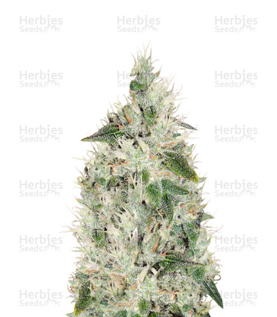 Buy Hash Plant regular seeds (Sensi Seeds)