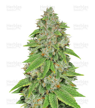 Buy Alien Gorilla feminized seeds