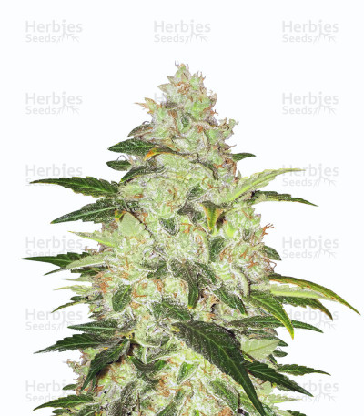 Chocolate Chunk (T.H. Seeds)