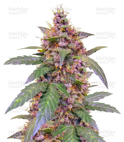 Buy Sour Blues Auto feminized seeds