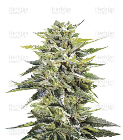 Buy Sour Lemon OG feminized seeds