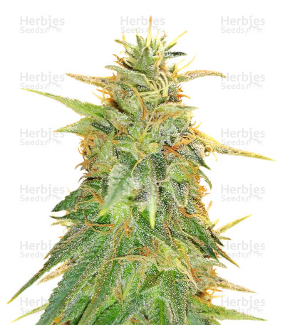 Zkittzy Gorilla (Original Sensible Seeds)