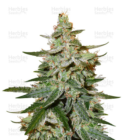 Buy O.G. Kush Autoflower feminized seeds (Seed Stockers)