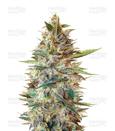 Buy Auto Blue Diesel feminized seeds