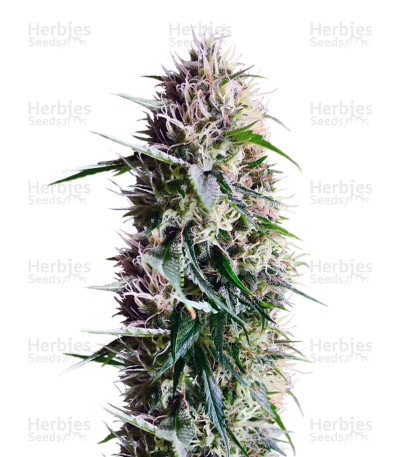 Chem Berry D Regular Seeds (Dark Horse Genetics Seeds)