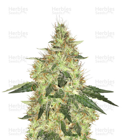 Buy Cookie Dawg feminized seeds