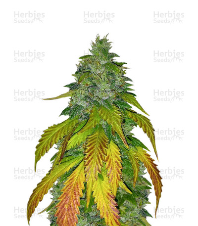 Buy Amnesia Mistery feminized seeds
