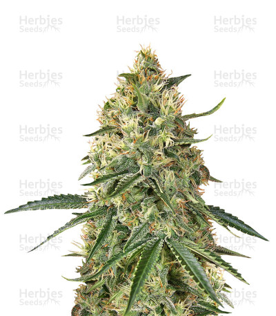 Buy Big Head Confidential feminized seeds