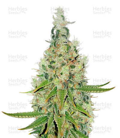 Buy Double Glock feminized seeds