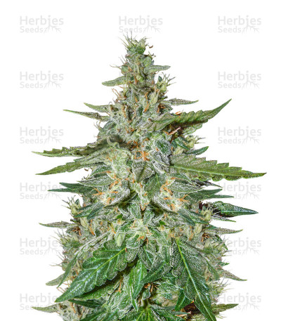 Haze Autoflowering CBD (Dinafem Seeds)