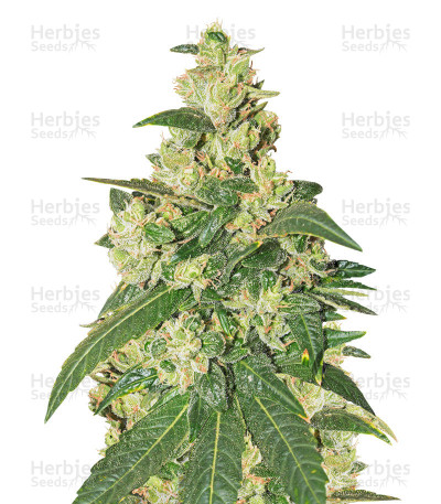 Buy Somango feminized seeds