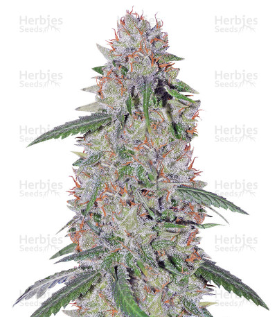 Buy Super Lemon Haze x Clementine feminized seeds
