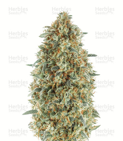 Gorilla Blue (Advanced Seeds)