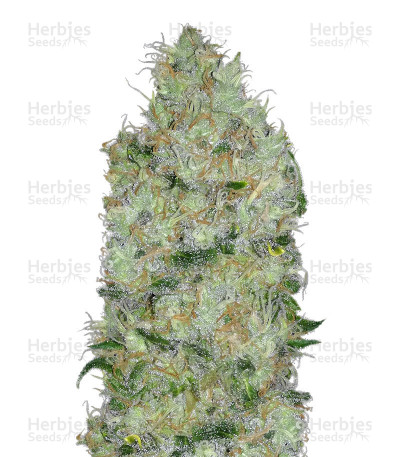 Buy Big Bomb feminized seeds