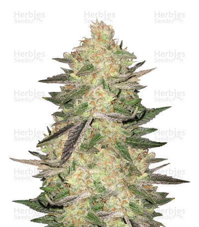 Buy Melon Gum feminized seeds