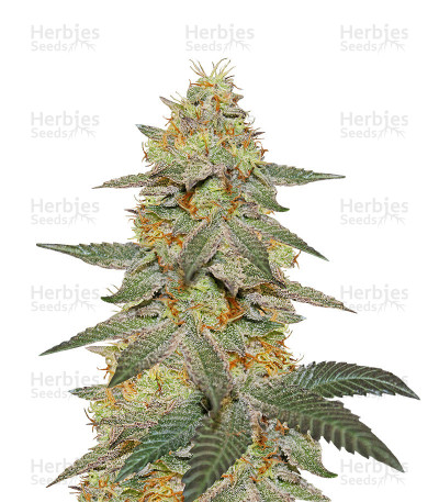 Buy Outdoor Hurricane feminized seeds