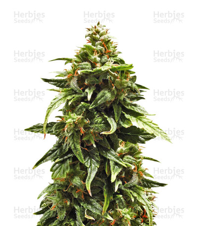 Buy Buddha Medikit Auto CBD feminized seeds