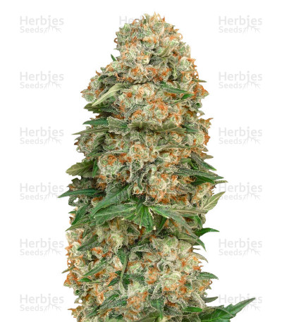 Buy Afghan Skunk feminized seeds