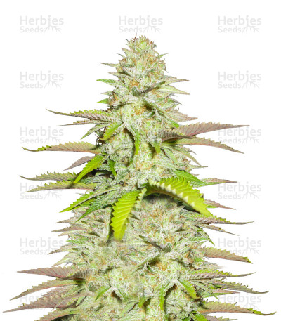 Buy Blueberry Gum #2 feminized seeds