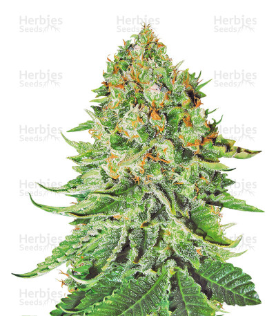 Buy Northern Lights Auto feminized seeds
