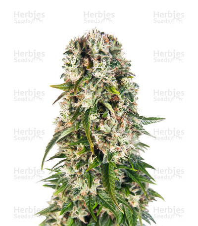 Buy Big Bud Automatic feminized seeds