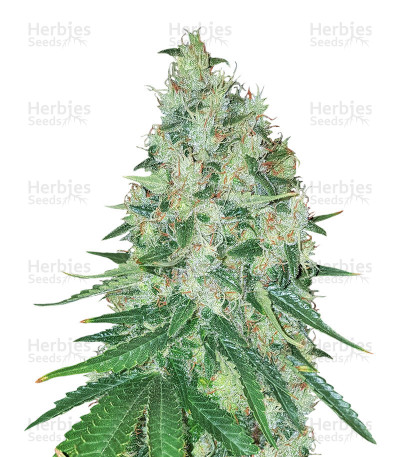 Buy Apollo Haze Regular seeds