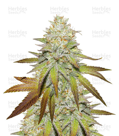Buy Headstash Regular seeds
