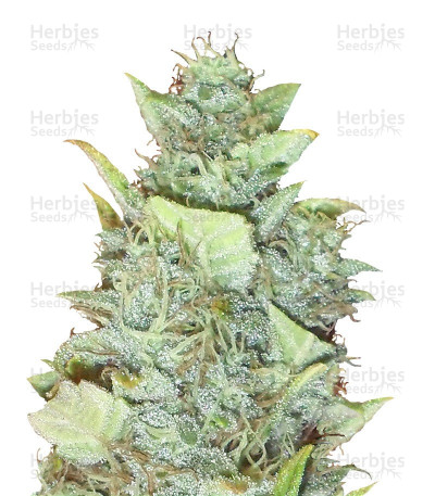 Buy Bubba Gum Auto feminized seeds