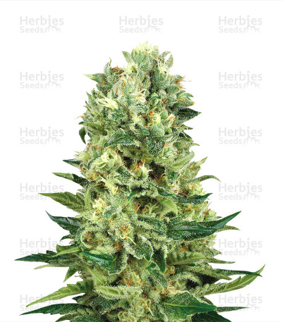 Buy NHS Regular seeds