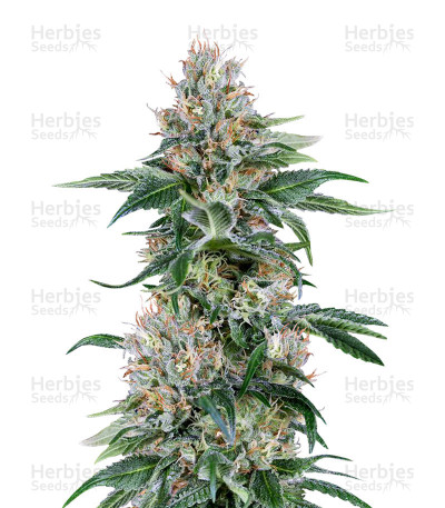 Buy Orange Juice feminized seeds