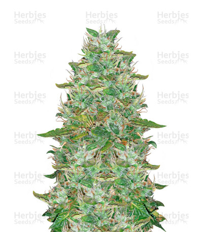 Santa Marta Haze Autoflower (Seedstockers)