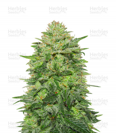 Triple Cheese (Barney's Farm) Cannabis-Samen