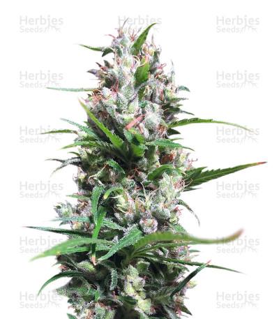Green Haze x Malawi Regular (Ace Seeds)